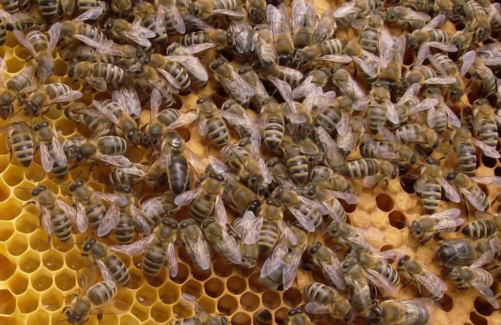 Jungkönigin im Volk auf einer Brutwabe mit Bienen