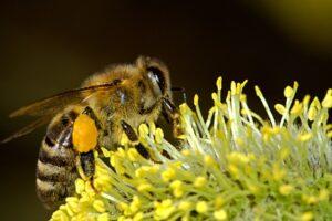 Honigbiene sammelt Blütenpollen, der junge Bienen leistungsstark und langlebig macht.
