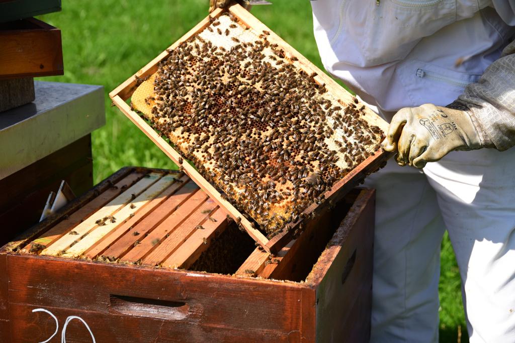 Bienenwabe mit Brut und Futter über einem offenen Bienenkasten im Herbst/Winter, professionell imkern