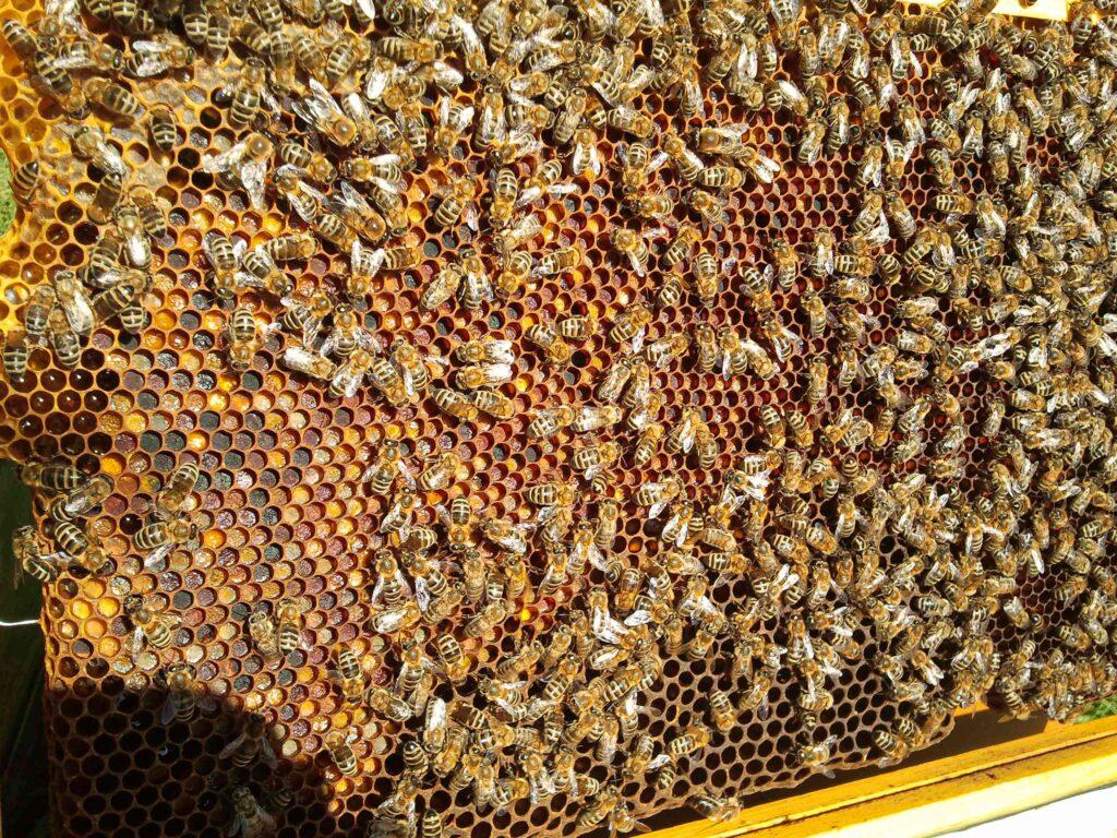 Grundsätze erleichtern Imkern Praxis: Pollenbretter zeigen, dass das Brutnest zu groß ist, bzw. dass der Brutnestrand nicht warm genug gehalten werden kann, dass dort Brut angelegt werden kann.