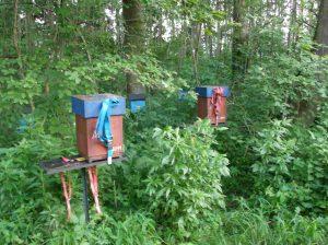 Bienen auf Belegstelle in Halbdadant