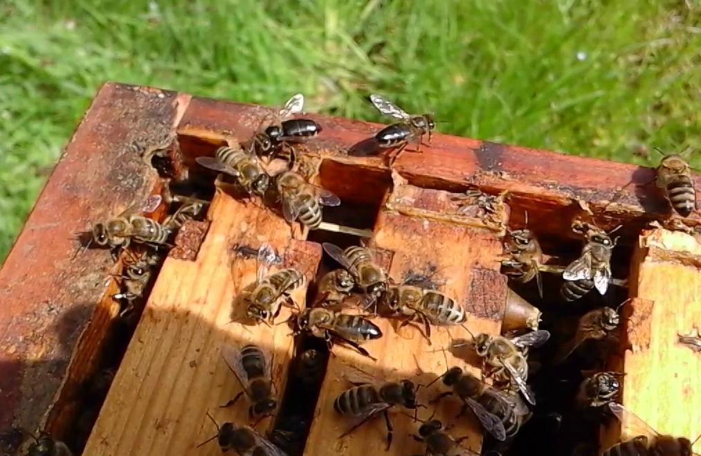 Chronisches Bienenparalyse-Virus bei Honigbienen